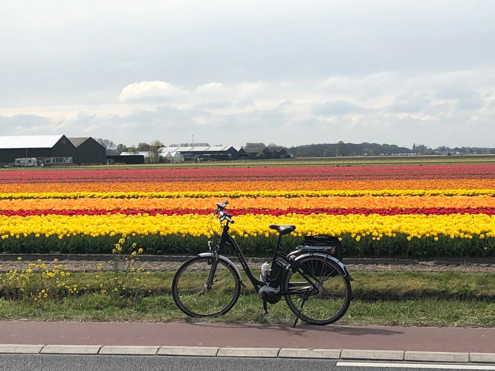 Amsterdam article tulips with bike